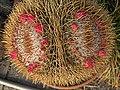 H20140729-3104—Mammillaria sp (14601087017).jpg