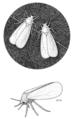 HEMI Aleyrodidae Trialeurodes vaporariorum.png