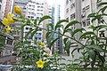 HK 上環 Sheung Wan 水坑口街 Possession Street Footbridge green plants n flowers yellow 夾竹桃葉黃蟬 Allamanda schottii Sept 2017 IX1 04.jpg