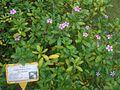 HK Central Zoo & Botanical Gardens 長春花 Catharanthus Roseus.JPG