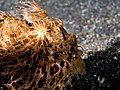 Hairy frogfish (Antennarius striatus) (43855869525).jpg