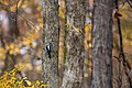 Hairy woodpecker (32278006028).jpg