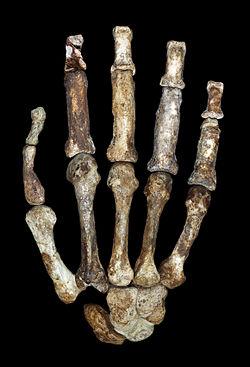 Hand of Australopithecus sediba.jpg