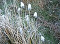 Hare's-tail Cottongrass - geograph.org.uk - 1248826.jpg