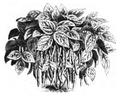 Haricot jaune de la Chine Vilmorin-Andrieux 1883.png