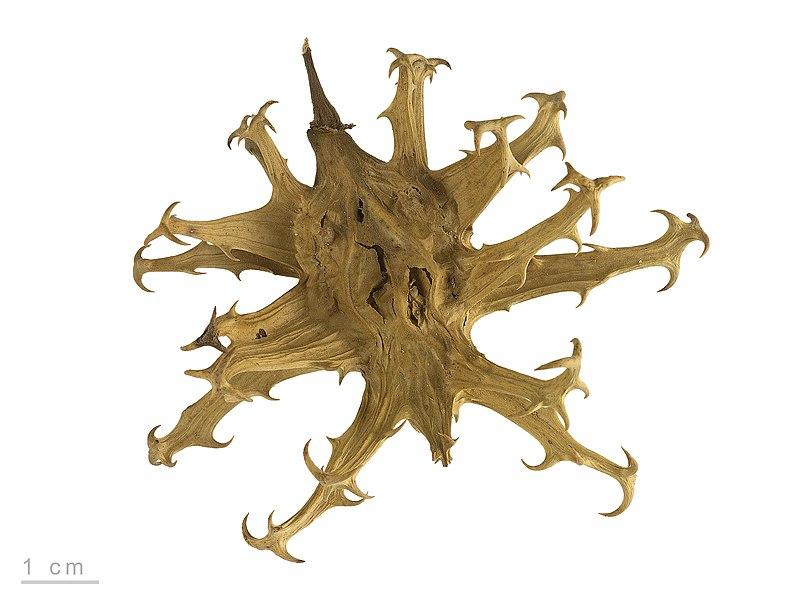 file harpagophytum procumbens mhnt wikimedia commons. Black Bedroom Furniture Sets. Home Design Ideas