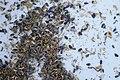 Harvesting Sunflower Seeds (9484254184).jpg