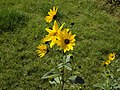Helianthus tuberosus yellow Helianthus flowers on stipes.jpg
