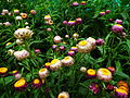 Helichrysum bracteatum or Xerochrysum bracteatum from Lalbagh Flower Show August 2012 4590.JPG