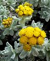 Helichrysum splendidum 3.jpg