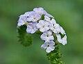 Heliotropium indicum W IMG 9953.jpg
