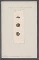 Helix squamulosa - - Print - Iconographia Zoologica - Special Collections University of Amsterdam - UBAINV0274 089 01 0068.tif