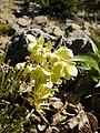 Helleborus lividus subsp. corsicus (plant).jpg