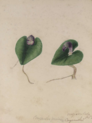 Helmet orchid (Corybas aconitiflorus) by Susan Fereday.png
