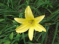 Hemerocallis flava-flower-yercaud-salem-India.JPG