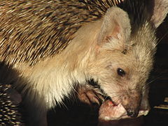 Hemiechinus auritus or Long-eared Hedgehog, Trans-Altai Gobi,Ömnögovi Province, South Mongolia.JPG