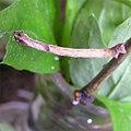Hemithea aestivaria larva.jpg