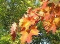 Herbstlaub - panoramio (6).jpg
