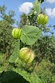 Herissantia crispa - Bladder Mallow at Theni (4).jpg