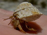 Hermit crab and Astralium phoebium