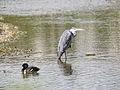 Heron and tufted duck (14380447525).jpg