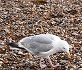 Herring Gull 018.JPG
