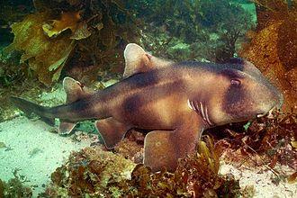 Crested bullhead shark - Image: Heterodontus galeatus callala creek