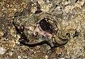 Hexaplex-trunculus-Purpurschnecke.jpg