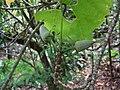 Hibiscadelphus giffardianus (5516738856).jpg