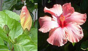 Ở bên trái, hoa bắt đầu nở từ nụ. Ở bên phải là chính bông hoa này đã nở tung sau khoảng thời gian chưa đến 18 giờ.