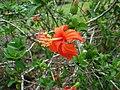 Hibiscus kokio subsp. saintjohnianus (5188118744).jpg