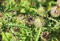 Hibiscus trionum 03.JPG