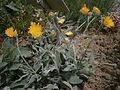 Hieracium lanatum 01.jpg