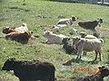 Highland Cattle on North Uist - panoramio.jpg