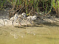 Himantopus himantopus fledglings-pjt.jpg