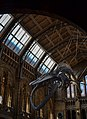Hintze Hall Natural History Museum 7.jpg