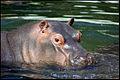 Hippo (4110304770).jpg