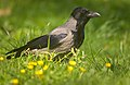 Hooded crow (51148721919).jpg