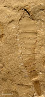 Chasmataspidida order of arthropods