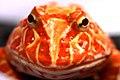Horned Frog (17).jpg