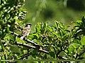 House Sparrow (Passer domesticus) (15894927795).jpg