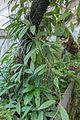 Hoya pubicalyx - 77.jpg