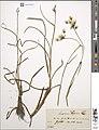 Hugo Ilse herbarium sheet Eriophorum angustifolium.jpg