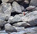 Hunting in the Rocks (27563827641).jpg