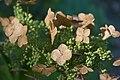 Hydrangea quercifolia - Hungary.jpg