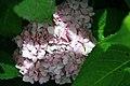 Hydrangea serrata Preziosa 1zz.jpg