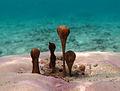 Hydrocoleum sp..jpg