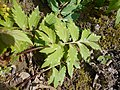 Hydrophyllum virginianum 2017-04-20 8216.jpg