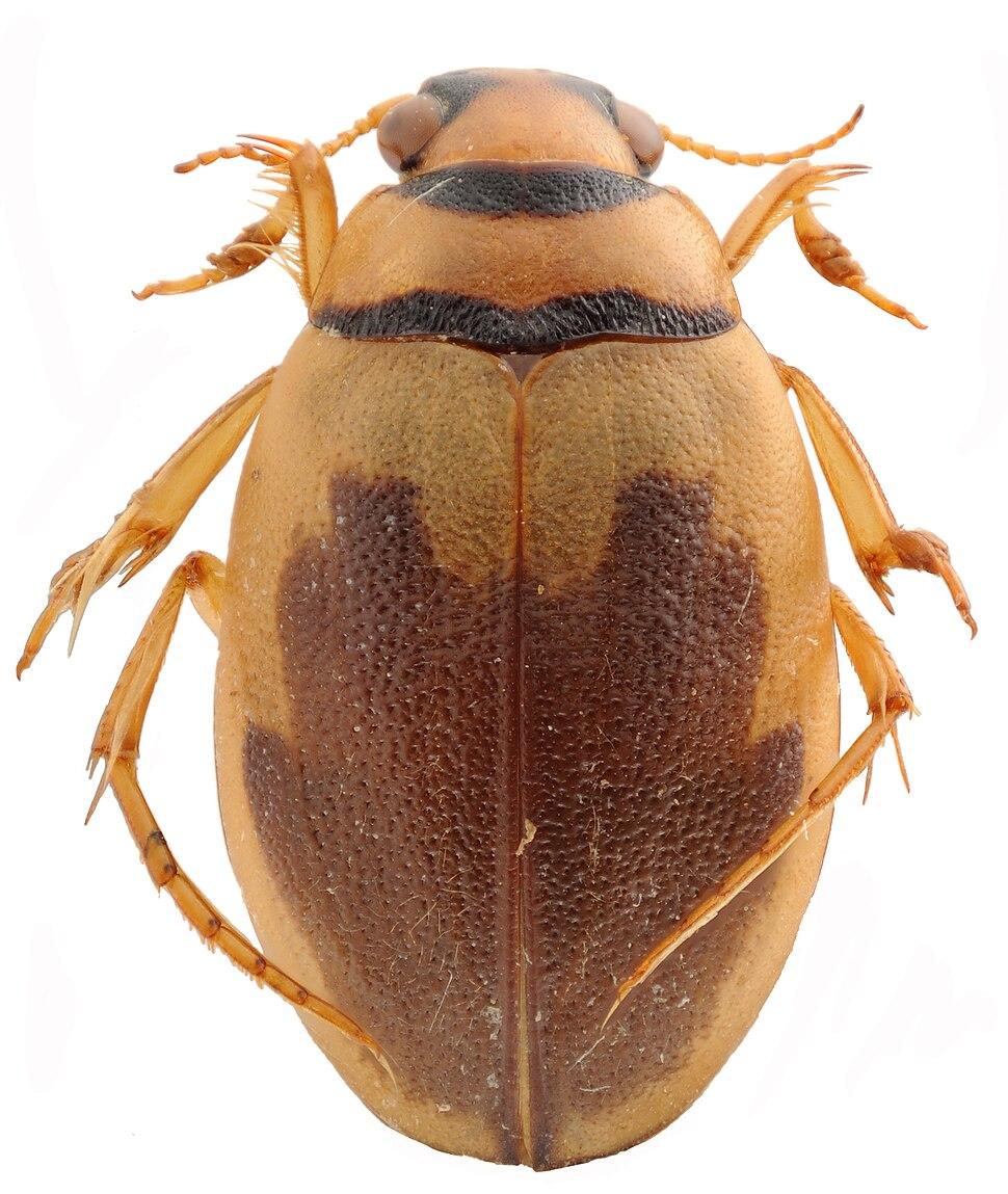 Hygrobia hermanni HabitusDors