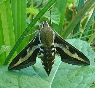 <i>Hyles gallii</i> Species of moth